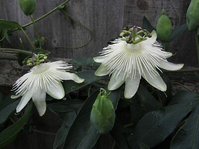 £15.19 • Buy Passiflora Snow Queen Cimbing Plant In A 15cm Pot.  Passion Flower