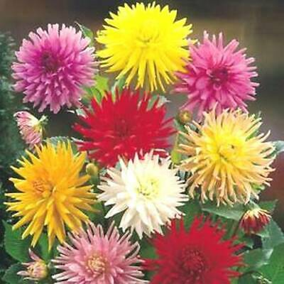 Dahlia Cactus Mix See Scans 50+ Seeds • 2.89£