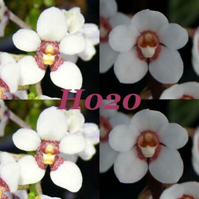 AU10 • Buy Sarcochilus Orchid Seedling. S. Hartmannii 'Early Open' X S. Hartmannii '3 Spike