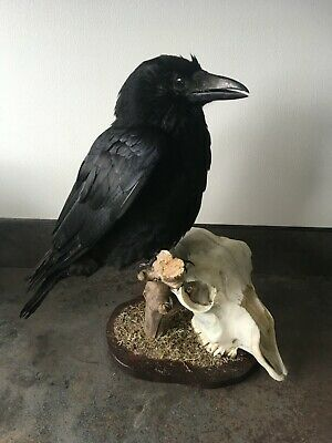 £39 • Buy A Carrion Crow With Sheep Skull Mounted On Driftwood With Wooden Base.