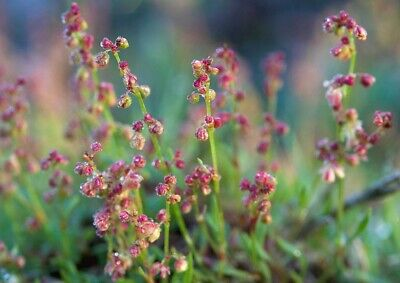£2.25 • Buy Sheep's Sorrel Rumex Acetosella, Approx, 200 Seeds Wild Flower, Height 20cm