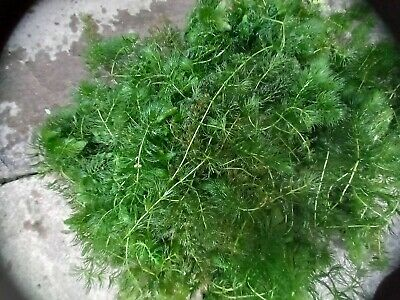 £10 • Buy Hornwort, Oxygenating Pond Plant, One Kilo But Generally Much More.