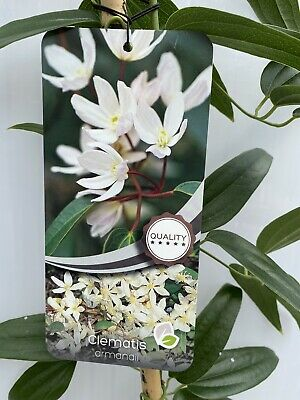£32 • Buy Clematis Armandii Plant In 7lt Pot - 6ft Tall With Cane.