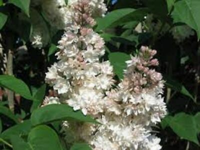 £66.99 • Buy Syringa Vulgaris Beauty Of Moscow Lilac Tree In A 7 Litre Container