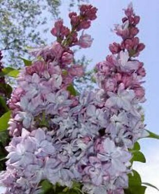 £66.99 • Buy Syringa Vulgaris Katherine Havemeyer Lilac Tree In A 7 Litre Container