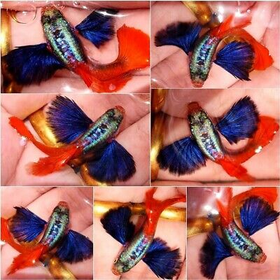 $22.99 • Buy 1 Pair - Live Guppy Fish High Quality - Dumbo Red Tail Big Ear- USA Seller
