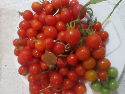 £2.25 • Buy Tomato Hundreds And Thousands 25 Seeds