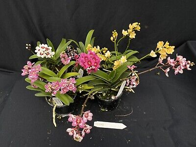 AU100 • Buy BE/040 Sarcochilus Orchids In Flower, 5 Plant Pack.