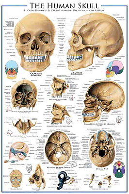 $16.19 • Buy ANATOMY Of THE HUMAN SKULL Medical Science Wall Chart POSTER
