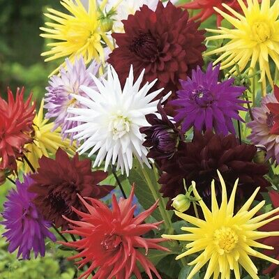 Dahlia Flower Seeds  Mixed Colour Different Types To Choose   • 2.25£