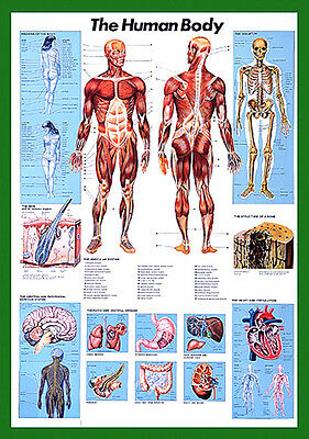 $19.99 • Buy THE HUMAN BODY Anatomy HUGE Wall Chart POSTER For Lab, Fitness, Medical, Class