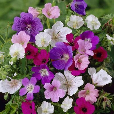 Geranium Flower Seeds A Collection Of Different Types To Choose • 1.95£