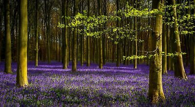 Bluebell Woods Forest Trees CANVAS WALL ART DECO LARGE READY TO HANG All Sizes • 35£