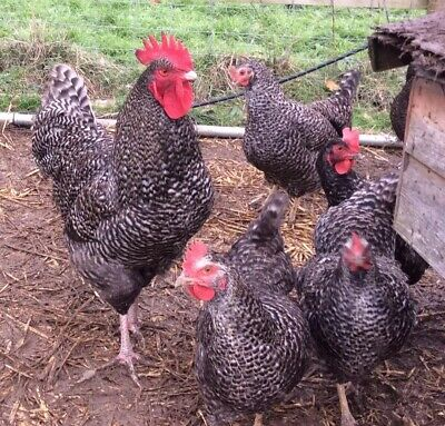 £59.99 • Buy 6 Cuckoo Marans Fertile Chicken Hatching Eggs Pure Breeds-Great Layers