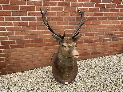 Large Antique Vintage Stags Head Taxidermy Wall Mounted Antlers Deer Stag • 175£