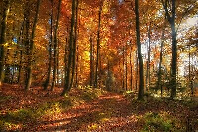 Red Autumn Forest Trees Woods Landscape Wall Art Poster & Canvas Picture Prints • 14.99£