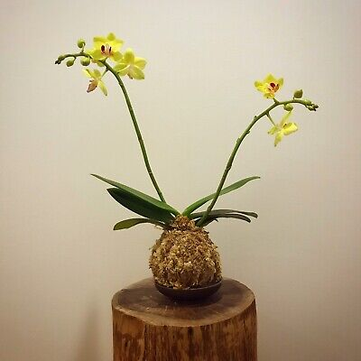 AU45 • Buy Orchid Kokedama - Yellow And Pink