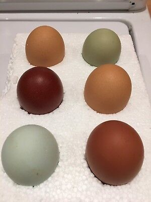 £15.99 • Buy 6 Hatching Egg Mix Pure Breed Selection Sussex Copper Cuckoo Legbars, Blue Maran