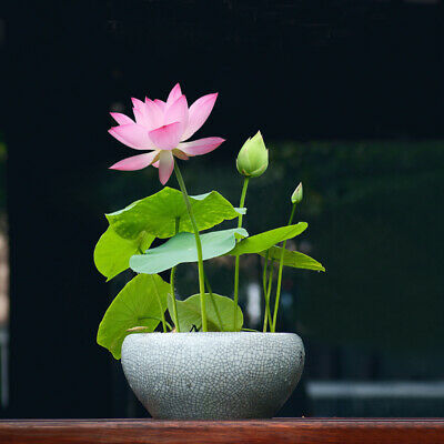 $ CDN1.30 • Buy 10Pcs Rare Lotus Flower Seeds Water Plant Bonsai Hydroponic Home Garden Decor