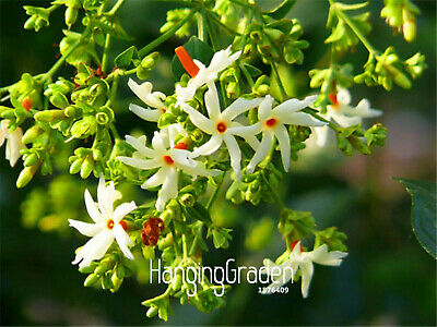 $2.99 • Buy Bag Nightflowering Jasmine Seeds Plants Flores Bonsai Potted Diy A Home 100pcs