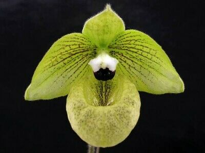 AU35 • Buy Species Orchid - Paphiopedilum Malipoense (Ma X Hung)