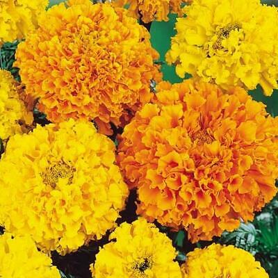100 Marigold African Heirloom Crackerjack Seeds - Yellow & Orange Double Flowers • 3.99£