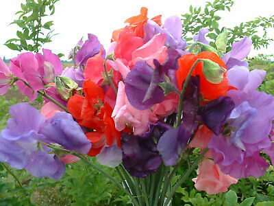 Sweet Pea Bouquet Mixed Plant Seeds • 3.55£