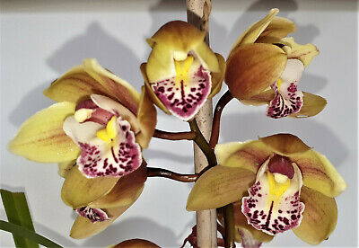 AU35 • Buy Cymbidium Orchid Plant +/- Flower Spike Attached Or Bulb Purplish Spotty Lips