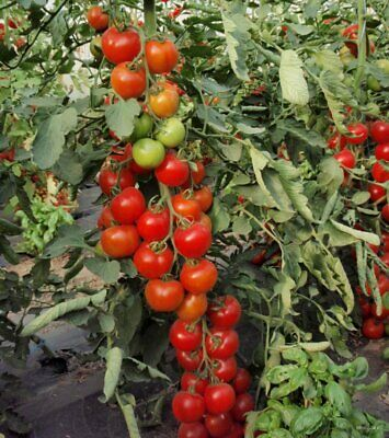 MONEY MAKER - Micro Tomato High Cropping Tomato - 15 SEEDS • 1.99£