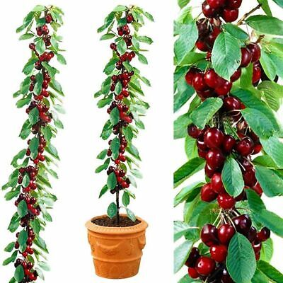 Cherry Seeds Home Indoor Fruit Dwarf Cherry Tree Seed Planting UK STOCK • 3.39£