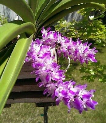 AU15 • Buy Species Orchid - Aerides Multiflora