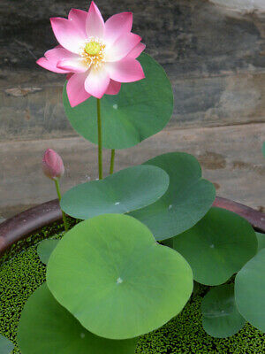 $ CDN6.20 • Buy  Lotus Flower Seeds, Lotus Aquatic Plants Garden, 9Pcs