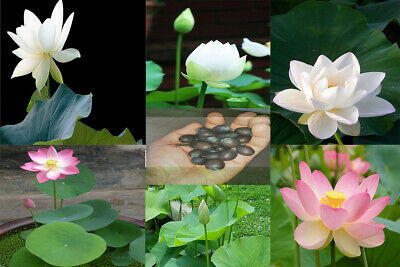 $ CDN4.94 • Buy Lotus Flower Seeds Rare 2 Kind Water Plant Beautiful Aquatic Plants
