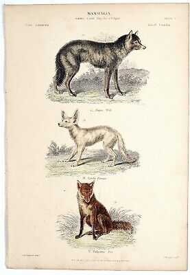 Mamalia, Wolf, Fennec, Fox.. Museum Natural History Hand Coloured Engraving • 17.50£
