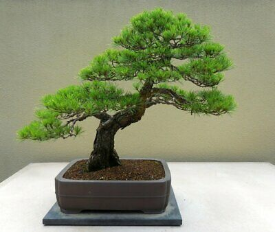 5 Chinese Red Pine Bonsai Tree Seeds,  • 2.75£