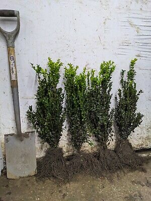 10 Box Hedging Plants 30-40cm Bare-rooted (Bundles Of 10) • 29.99£