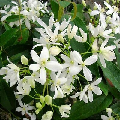£24.99 • Buy Clematis Armandii Evergreen Climbing Plant In A 15cm Pot