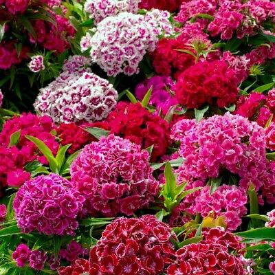 £2.15 • Buy Sweet William Plant Seeds Two Types To Choose