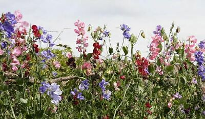 £8.99 • Buy Perennial Sweet Pea Plants In A 13cm Pot Mixed Colours