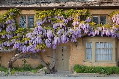 £45 • Buy Wisteria Sinensis Deciduous Climber Mauve Lilac Stunning Flowers 220cm Tall 7L