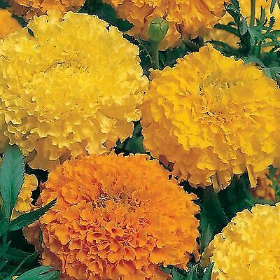 £7.99 • Buy African / American Marigold MIXED Bedding Plants 6 Pack Garden Ready Plants
