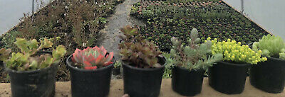 £8.99 • Buy Selection Of  6  Succulents In 9-10cm Pots . Well Established . Hardy Garden