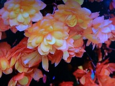 £2.99 • Buy Cascading Double Begonia Plant , Apricot Shades  In 13cm Pot Approx.