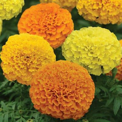 £1.99 • Buy AFRICAN MARIGOLD - SIERRA MIX - Tagetes Erecta - DROUGHT TOLERANT FREE SHIPPING