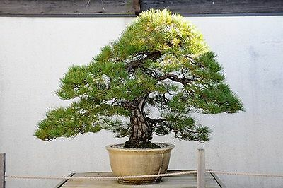 5 Japanese Red Pine  Bonsai Seeds Grow Your Own Bonsai Tree With These Seeds 5x • 2.75£