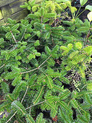 1 X 3 LITRE  POT NORDMANN FIR NON DROP / CHRISTMAS TREE GARDEN PLANT  17 -20  • 24.99£