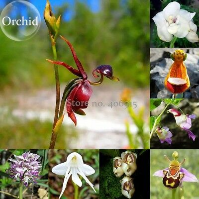 AU5.21 • Buy Orchid Seeds Mix Flying Duck Orchid Bonsai Perennial Flowers Garden Bloom Plants