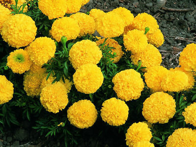 African Marigold Seeds 50pcs Seed Tagetes Yellow Flowers Home Gardening Planting • 2.08£