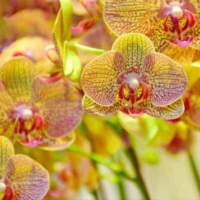 AU3.96 • Buy Orchid Yellow Phalaenopsis 100PCS Seeds Perennial Flowering New Potted Flowers