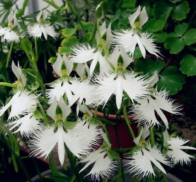 AU3.67 • Buy 100PCs Seeds Japanese Radiata White Egret Orchid Species Baison Flowers Garden